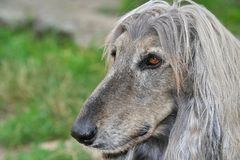 Dog head of afghan hound Royalty Free Stock Images