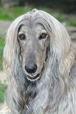 Dog head of afghan hound Royalty Free Stock Photography