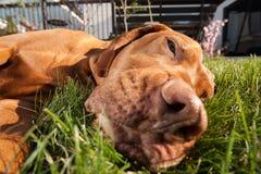 Dog head extreme closeup Royalty Free Stock Photo