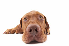 Dog head extreme closeup Royalty Free Stock Photography