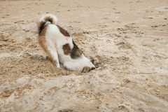 Dog Head In Sand Beach Like Ostrich Shame And Fear Stock Photo