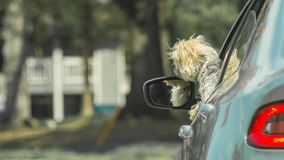 Dog with head out of car window stock images
