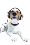 Dog head phones. Dog listening to music with head phones Royalty Free Stock Photo