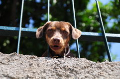 Dog with Head between railings. A small dog looking down with head between railings Royalty Free Stock Photography