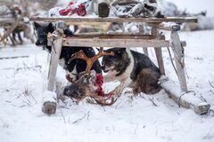 The dog is the head of the reindeer.  the extreme north, Yamal, the preparation of deer meat, remove the hide from the deer