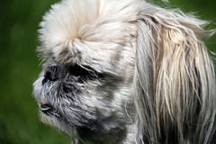 Dog head - shih-tzu Royalty Free Stock Photo