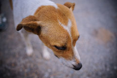 Dog Head short. Selective focus with shallow background Royalty Free Stock Photo