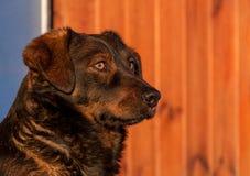 Dog head 2 Royalty Free Stock Photography