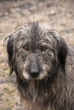 Dog head wet by rain Stock Image