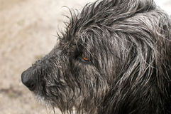Dog head wet by rain Royalty Free Stock Photos