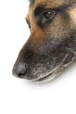 Dog head on white background Royalty Free Stock Photography
