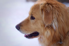 Dog head in winter looking forward Royalty Free Stock Images