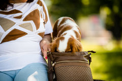 Dog with head in woman's  handbag Royalty Free Stock Image