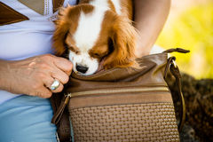 Dog with head in woman's  handbag Royalty Free Stock Photography