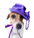 Dog with headdress. Cute dog in the women's stylish violet hat with beads and feathers. White background. studio shot Stock Photo