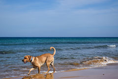 Dog heading to swim on the beach Royalty Free Stock Image