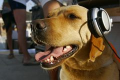 Dog in headphones. Close up Stock Images