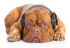 A dog in headphones is listening to the music