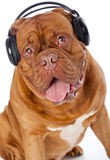 A dog in headphones is listening to the music Stock Image