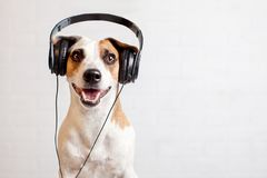 Dog in headphones listening to music. Happy pet Royalty Free Stock Image