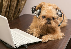 Dog in the headphones with microphone. Dog breed Griffon Bruxellois sits near the laptop headphones stock images