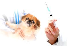 Dog Healthcare: vaccination. Stock Photos