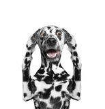 Dog hears nothing -- he close the ears. The dog hears nothing -- he close the ears stock photo
