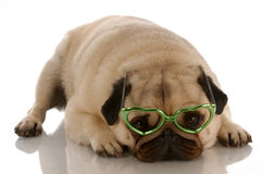 Dog with heart shaped glasses Royalty Free Stock Images