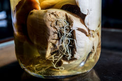 Dog heartworm preserved in jar Stock Photo