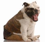 Dog in heat or season. Adorable female english bulldog wearing hot pants in season Stock Photos