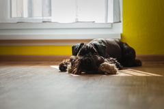 Dog is heated in the sun next to the window with his toys royalty free stock images