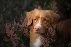 Dog in heather colors. walk with a pet in the forest. Journey. Toller dog in heather colors. walk with a pet in the forest. Journey royalty free stock photos