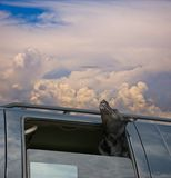 Dog Heaven 3. Happy dog going for a car ride in the clouds, sniffing the air Stock Images