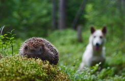 Dog and Hedgehog Stock Photo