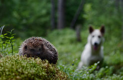 Dog and Hedgehog royalty free stock photography