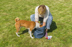 Dog helping its female master to find something in woman`s bag. Cute basenji dog helping its female master to find something in woman`s bag Royalty Free Stock Photography