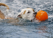 Dog with her ball in the pool Stock Image