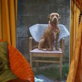 A dog on her throne. Dog sitting on chair like its her throne Royalty Free Stock Photos