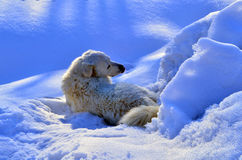 Dog. Herding dog lying in the snow Stock Images