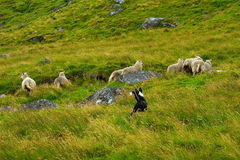 Dog herding sheep through grassy hillside. Royalty Free Stock Images