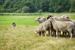 Dog herding sheep Stock Images