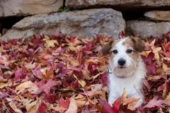 DOG HIDE IN RED AUTUMN LEAVES. PLAYFUL JACK RUSSELL PUPPY AT NAT. DOG HIDE IN RED AUTUMN LEAVES. PLAYFUL AND DIRTY JACK RUSSELL PUPPY AT NATURE ON FALL SEASON royalty free stock photo
