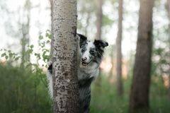 The dog hides behind a tree. Pet on nature in the forest. Royalty Free Stock Image