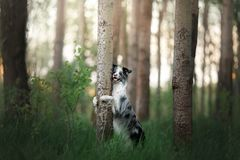 The dog hides behind a tree. Pet on nature in the forest. Royalty Free Stock Photo