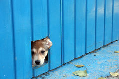 Dog hiding. Behind a blue fence royalty free stock images