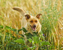 dog hiding in the bushes and high grass Royalty Free Stock Image