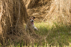 Dog hiding inside haystack playing hide and seek game. Jack Russell Terrier playing at farmer`s field Royalty Free Stock Images