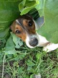 Dog hiding in leaves. Puppy cute doggy Royalty Free Stock Photography