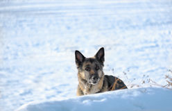 Dog Hiding In Snow Royalty Free Stock Photography