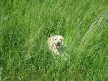 Dog in high grass Royalty Free Stock Photo